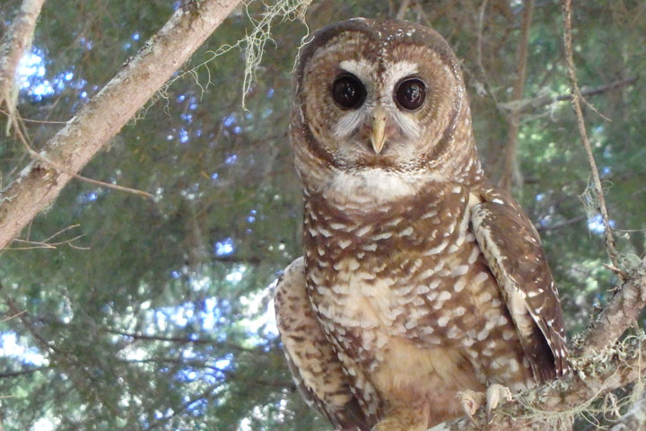 Spotting the Spotted Owl