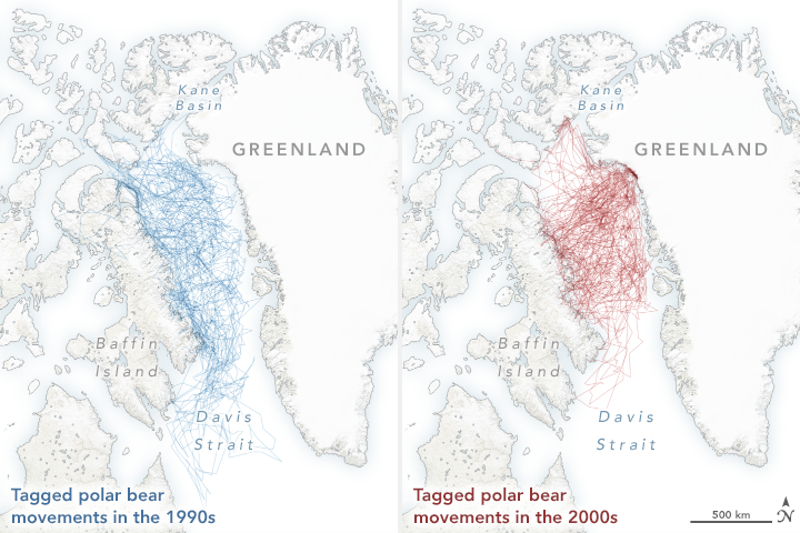 Polar Bears Struggle as Sea Ice Declines