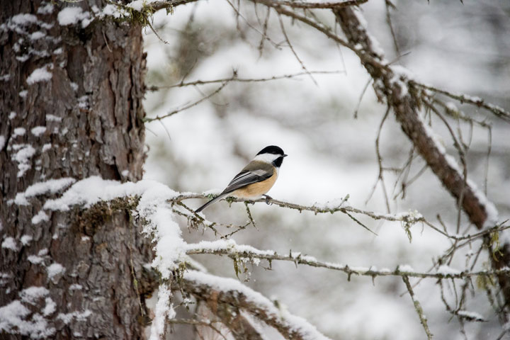 Temperatures Predict Bird Biodiversity - related image preview