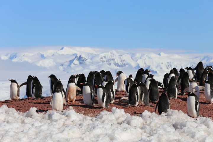 Cracking Icy Secrets of New Penguin Colonies - related image preview