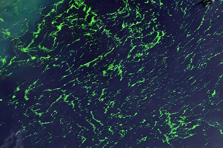 Green Seaweed in the Yellow Sea
