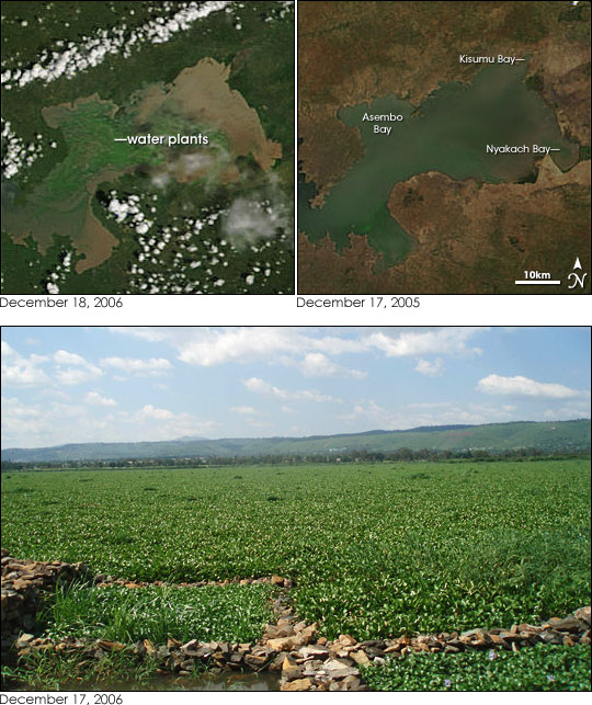 Lake Victoria: Water Hyacinth Re-invades Lake Victoria : Image Of The Day