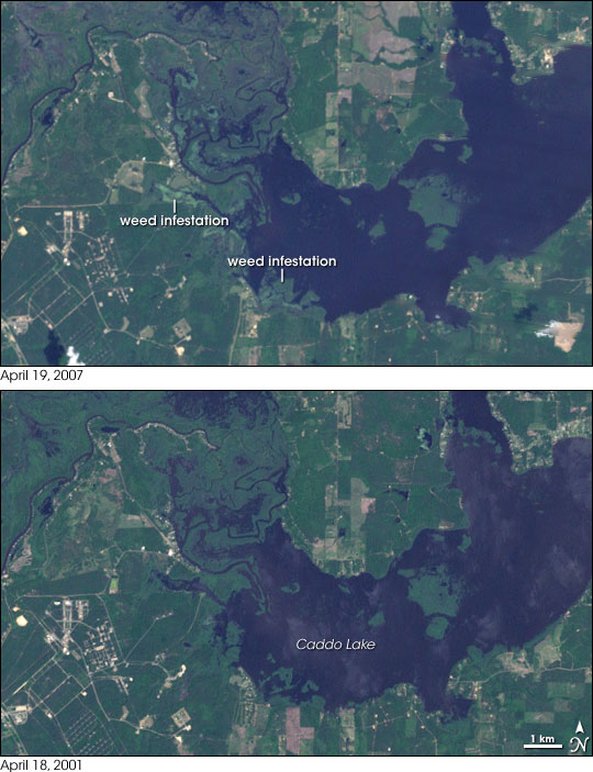 Weed Infestation in Caddo Lake