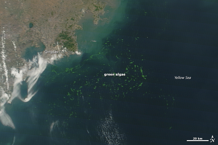 Extensive Bloom in the Yellow Sea