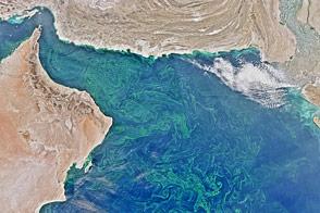 Winter Blooms in the Arabian Sea