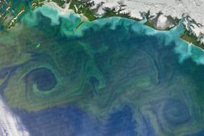 Bloom in the Gulf of Alaska